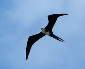 photo by Jonathan Whitcomb: frigatebird