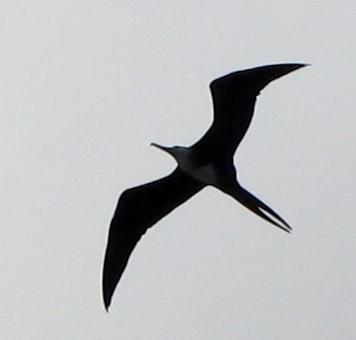 frigatebird in the Caribbean